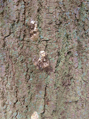 PNG image of gypsy moth egg masses on a tree